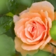 rose1_small